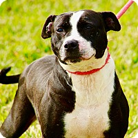 American Staffordshire Terrier Mix Dog for adoption in Calgary, Alberta - Tulip
