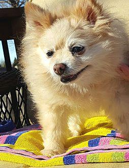 Pomeranian Dog for adoption in Overland Park, Kansas - Rosie