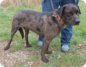 Catahoula Leopard Dog Mix Dog for adoption in richmond, Virginia - CATMANDO