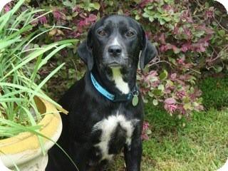 Labrador Retriever Mix Dog for adoption in Homewood, Alabama - Rosie