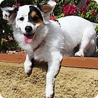 Adopt A Pet :: Tareyton - Gilbert, AZ