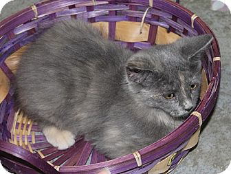 Domestic Longhair Cat for adoption in Grinnell, Iowa - Lilly