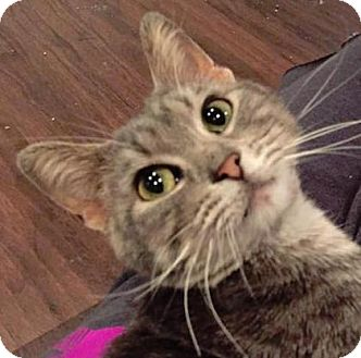 Domestic Shorthair Cat for adoption in West Des Moines, Iowa - Suzette