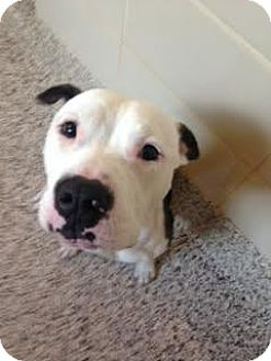 Pit Bull Terrier Mix Dog for adoption in Aiken, South Carolina - Walsh