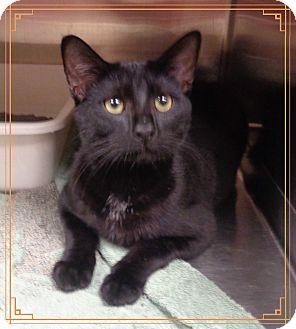 Domestic Shorthair Cat for adoption in Marietta, Georgia - HUNTER