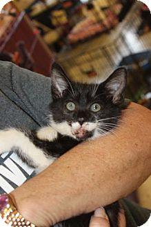Domestic Shorthair Kitten for adoption in Louisville, Kentucky - Gabby