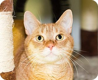 Domestic Shorthair Cat for adoption in Seville, Ohio - Ken-SPONSORED