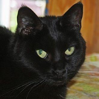 Domestic Shorthair Cat for adoption in Huntley, Illinois - Ilana