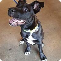 Adopt A Pet :: Vader - Saugus, CA