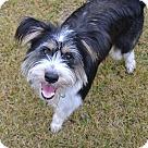 Adopt A Pet :: Griffon