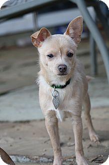 Chihuahua Puppy for adoption in Dallas, Texas - Aramis