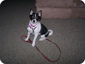 Chihuahua/Pomeranian Mix Puppy for adoption in Chewelah, Washington - Scooter