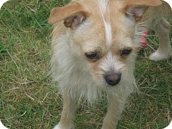 Terrier (Unknown Type, Small)/Chihuahua Mix Dog for adoption in Tumwater, Washington - Honey