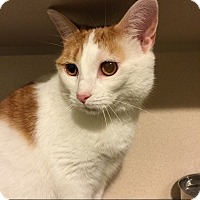 American Shorthair Cat for adoption in New York, New York - Hilary