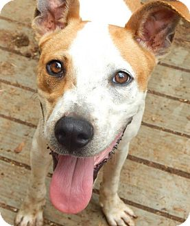 Terrier (Unknown Type, Medium) Mix Dog for adoption in Anderson, South Carolina - BUDDY