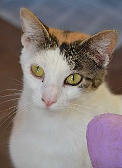 Calico Cat for adoption in Jackson, Mississippi - Pinky