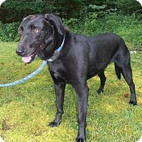 Labrador Retriever Mix Dog for adoption in richmond, Virginia - ROCKET J SQUIRREL