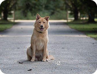Labrador Retriever/Golden Retriever Mix Dog for adoption in Daleville, Alabama - Sadie