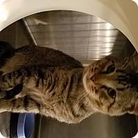 Adopt A Pet :: Hagrid - Geneseo, IL