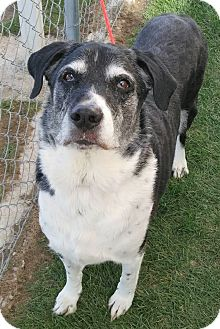 Border Collie/Labrador Retriever Mix Dog for adoption in Fruit Heights, Utah - Candy