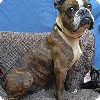 Adopt A Pet :: Beau - Lawrenceville, GA