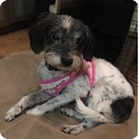 Adopt A Pet :: Cindy - Spring, TX
