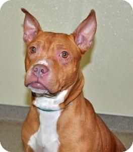 Pit Bull Terrier Dog for adoption in Port Washington, New York - Mia