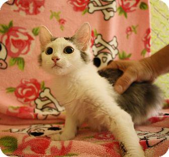 Domestic Longhair Kitten for adoption in Fountain Hills, Arizona - ELSIE