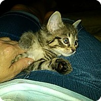 Adopt A Pet :: Coco ( bottle fed) - Sterling Hgts, MI