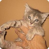 Adopt A Pet :: Pastel - Dallas, TX
