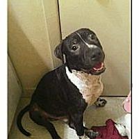 Adopt A Pet :: Bo - Geismar, LA