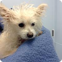 Adopt A Pet :: POOF - Higley, AZ
