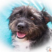Adopt A Pet :: Anya - Phoenix, AZ