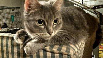 Domestic Shorthair Cat for adoption in Hamden, Connecticut - Baila