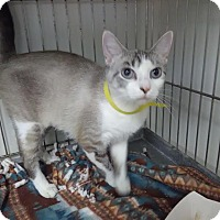 Domestic Shorthair Cat for adoption in Owenboro, Kentucky - ROXY