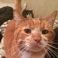 Domestic Shorthair Cat for adoption in Montreal, Quebec - Archie
