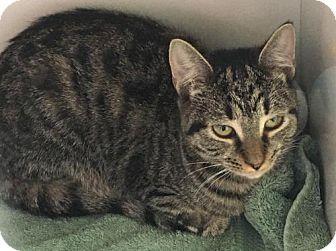 Domestic Shorthair Cat for adoption in Manteo, North Carolina - Polish