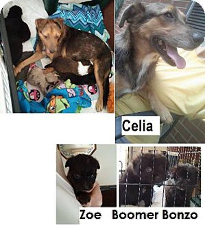 Shepherd (Unknown Type) Mix Dog for adoption in Danbury, Connecticut - Celia