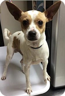 Chihuahua Dog for adoption in Palm Harbor, Florida - Brady