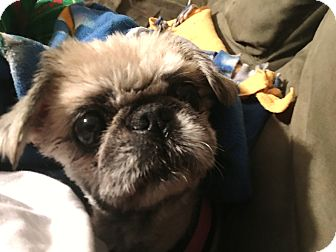 Pekingese Dog for adoption in Spring City, Tennessee - Cheyanne: Snuggle Girl! (VA)