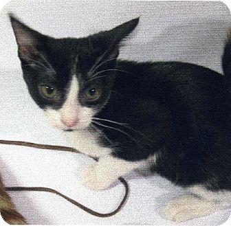Domestic Shorthair Cat for adoption in Tustin, California - Oreo
