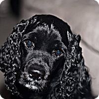 Cocker Spaniel Dog for adoption in Tacoma, Washington - CHARLIE -- 3