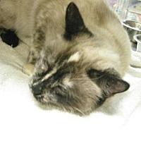 Siamese Cat for adoption in Logan, Utah - Camilla