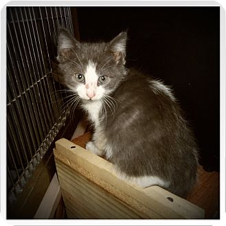 Domestic Shorthair Kitten for adoption in Medford, Wisconsin - RYLEE
