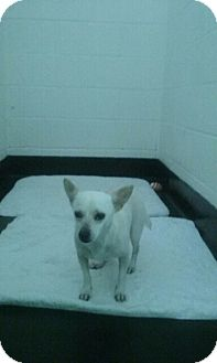 Chihuahua Dog for adoption in Barnwell, South Carolina - Casper FCD# 328