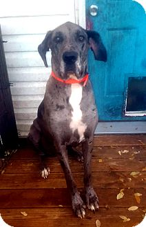 Great Dane Dog for adoption in Austin, Texas - Samson