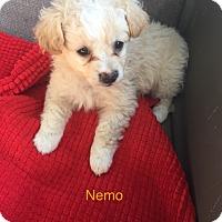 Adopt A Pet :: Nemo - Brea, CA