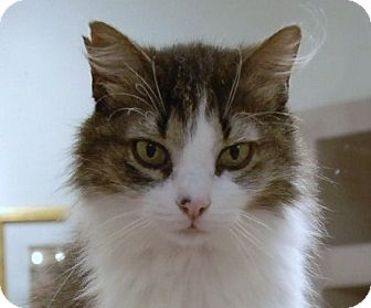 Domestic Longhair Cat for adoption in Naples, Florida - Cher