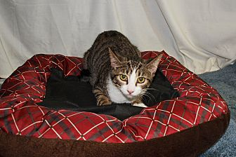 American Shorthair Cat for adoption in Jackson, Mississippi - Sonnet
