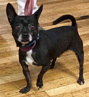 French Bulldog/Chihuahua Mix Dog for adoption in Phoenix, Arizona - Bubba
